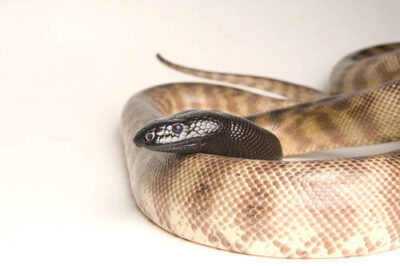 Photo: A black headed python (Aspidites melanocephalus) at Reptile Gardens.