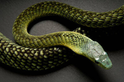 Photo: A venomous Jameson's mamba (Dendroaspis jamesoni) at Reptile Gardens.