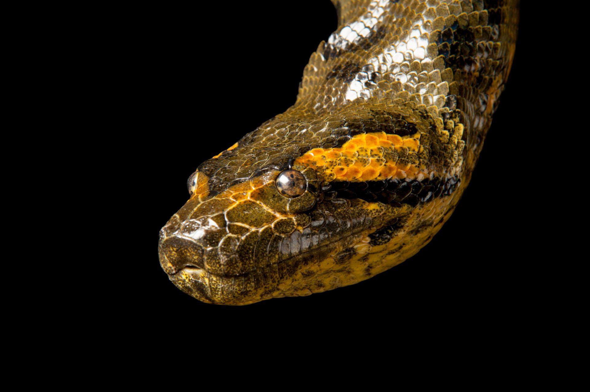 Photo: A green anaconda (Eunectes murinus) at Reptile Gardens.