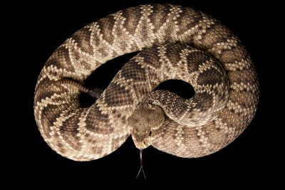 Photo: An eastern diamondback rattlesnake (Crotalus adamanteus) at Reptile Gardens.