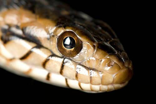 Photo: A banded water snake (Nerodia fasciata fasciata) at Reptile Gardens.