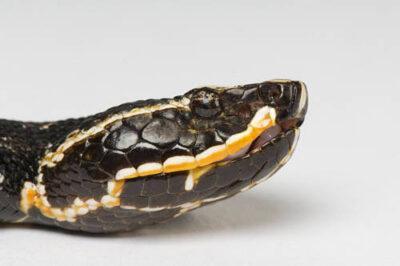 Photo: A Taylor's cantil (Agkistrodon taylori) at Reptile Gardens.