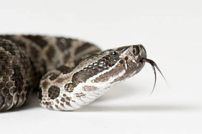 Photo: An eastern massasauga (Sistrurus catenatus catenatus) at Reptile Gardens.