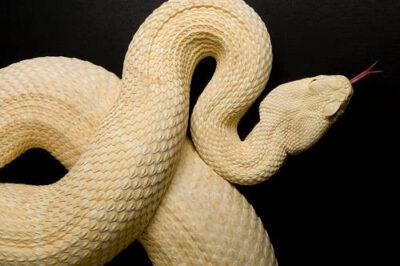 Photo: An albino western diamondback rattlesnake (Crotalus atrox) at Reptile Gardens.