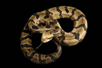 Photo: A timber rattlesnake (Crotalus horridus horridus) at Reptile Gardens.