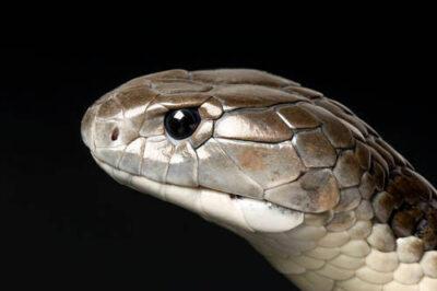 Photo: A tiger snake (Notechis scutatus) at Reptile Gardens.