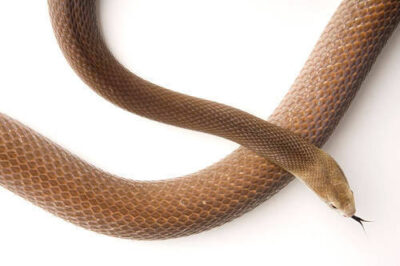 Photo: A coastal taipan (Oxyuranus scutellatus scutellatus) at Reptile Gardens.