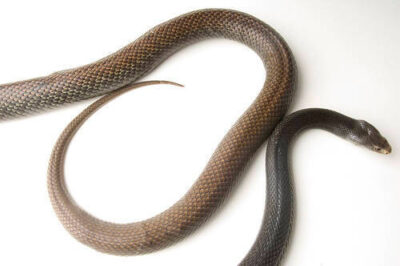 Photo: A Papuan taipan (Oxyranus scutellatus canni) at Reptile Gardens.
