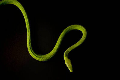 A venomous Eastern green mamba (Dendroaspis angusticeps) at Reptile Gardens near Rapid City, South Dakota.