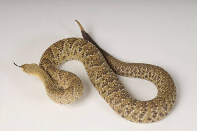 Photo: A Mexican west coast rattlesnake (Crotalus basiliscus) at Reptile Gardens.
