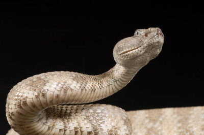 Photo: A speckled rattlesnake (Crotalus mitchelli pyhrrus) at Reptile Gardens.