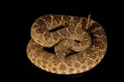 Photo: A western diamondback rattlesnake (Crotalus atrox) at Reptile Gardens.