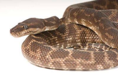 Photo: A rough scale python (Morelia carinata) at Reptile Gardens.