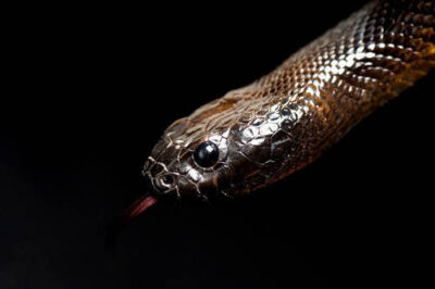 Photo: An inland taipan (Oxyranus microlepidotus) at Reptile Gardens.