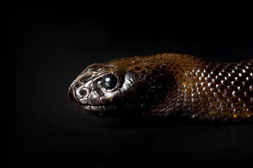 Photo: An inland taipan (Oxyranus microlepidotus) at Reptile Gardens.