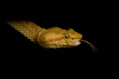 An eyelash viper (Bothriechis schlegelii) at Reptile Gardens.