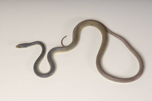 Photo: A Sonoran whipsnake (Masticophis bilineatus) at Reptile Gardens.