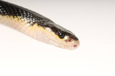Photo: A krait (Bungarus sindonus sindonus) at Reptile Gardens.