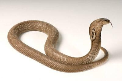 Photo: A monacled cobra (Naga kauthia) at Reptile Gardens.