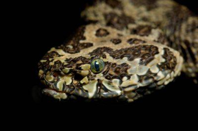 Photo: A Mangshan pit viper (Protobothrops mangshanensis) at Reptile Gardens.