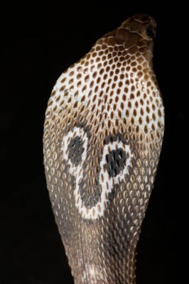 Photo: A spectacled cobra (naja naja) at Reptile Gardens.