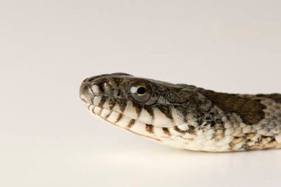 Photo: A northern water snake (Nerodia sipedon) from a private collection.