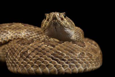 Photo: A prairie rattlesnake (Crotalus viridis viridis) at Reptile Gardens.