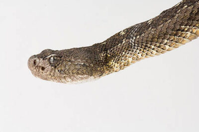 Picture of an Arizona black tailed rattlesnake (Crotalus molossus) at Reptile Gardens.
