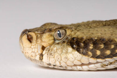 Photo: A timber rattlesnake (Crotalus horridus horridus) at Reptile Gardens.