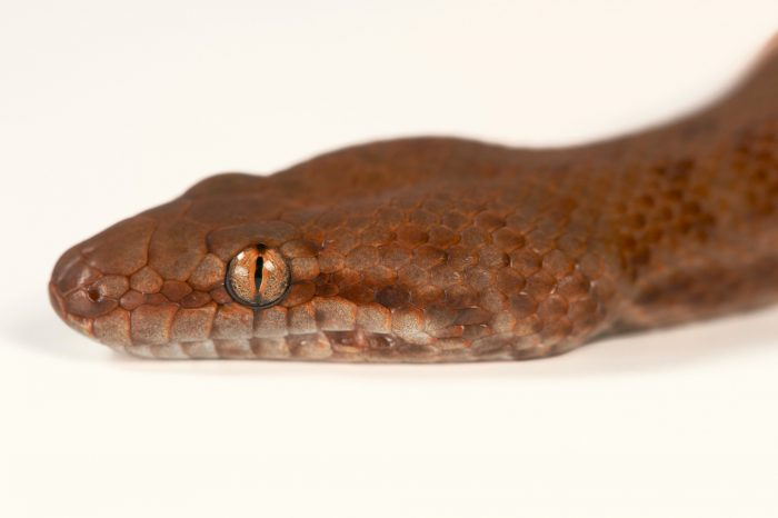 Picture of a pygmy or anthill python (Antaresia perthensis) at the St. Augustine Alligator Farm.