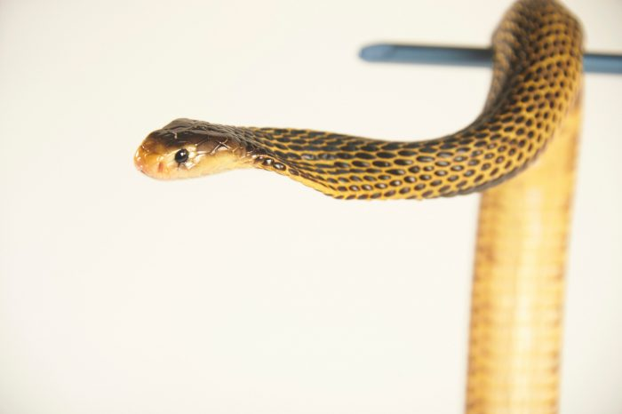 Picture of a Samar cobra (Naja samarensis) at the St. Augustine Alligator Farm.