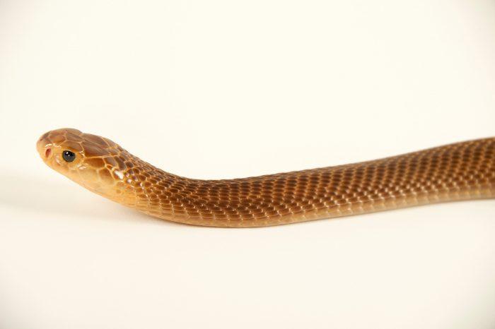Picture of a Philippine cobra (Naja philippinensis) at the St. Augustine Alligator Farm.
