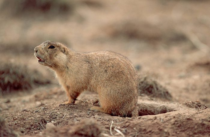 Photo: Gunnison's prairie dog outside its burrow near Craig, Colorado.