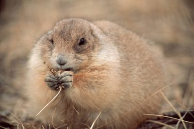 Photo: A black-tailed prairie dog at UL Bend NWR in Montana.