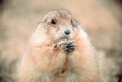 Photo: Black-tailed prairie dog at UL Bend NWR, within the CharlesM. Russell NWR in Montana.