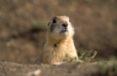 Photo: A Utah prairie dog (Cynomys parvidens) sticks his head up from the ground in Panguitch, Utah.