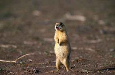 Photo: A Utah prairie dog(Cynomys parvidens) stands up straight in Panguitch, Utah.