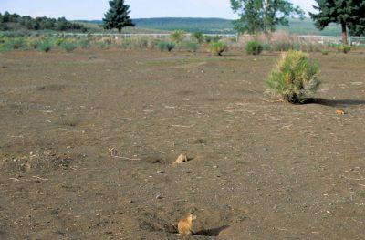 Photo: Utah prairie dogs (Cynomys parvidens) in Panguitch, Utah.