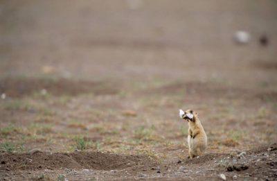 Photo: A Utah prairie dog (Cynomys parvidens) in Panguitch, Utah.
