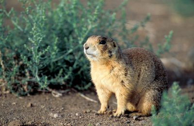 Photo: A Utah prairie dog (Cynomys parvidens) in Panguitch, Utah.