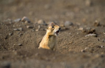 Photo: A Utah prairie dog (Cynomys parvidens) appears to be yelling in Panguitch, Utah.