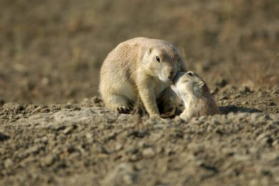 Photo: Black-tailed prairie dogs in eastern Montana.