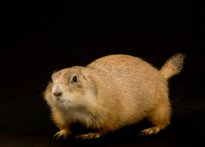 Black tailed prairie dog (Cynomys ludovicians) at the Sedgwick County Zoo.