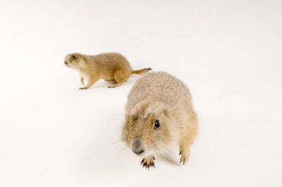 Two black-tailed prairie dogs (Cynomys ludovicianus) at the Denver Zoo.