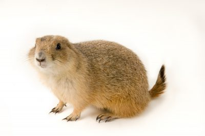 A black-tailed prairie dog (Cynomys ludovicianus) at the Denver Zoo.