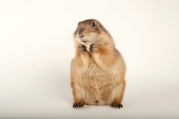 Photo: A black-tailed prairie dog (Cynomys ludovicianus) at Zoo Atlanta.