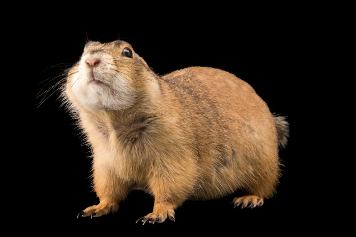 Photo: A Gunnison's prairie dog (Cynomys gunnisoni) at Liberty Wildlife.
