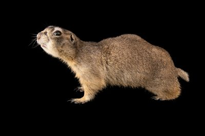 Photo: Leeloo, a six-year-old white-tailed prairie dog (Cynomys leucurus) photographed in Utah.