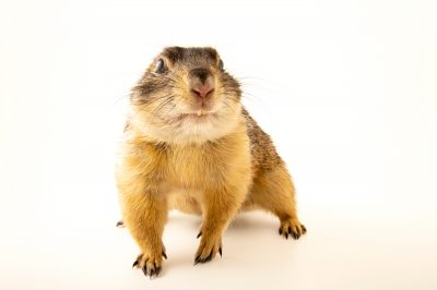 Photo: Aknot, a five-year-old Gunnison's prairie dog (Cynomys gunnisoni) photographed in Utah.