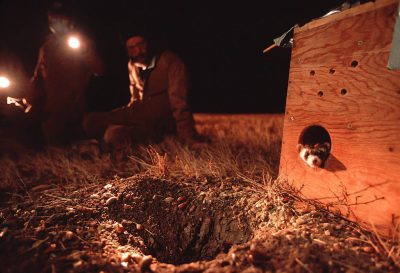Photo: An endangered black-footed ferret being released from a captive breeding program.
